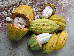 Open cacao pods